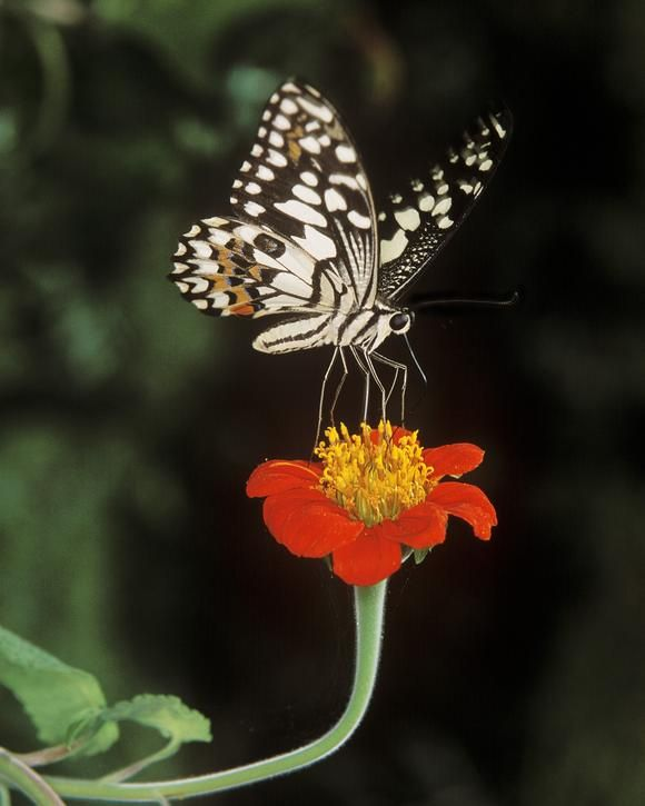 Butterfly Dance for Nectar