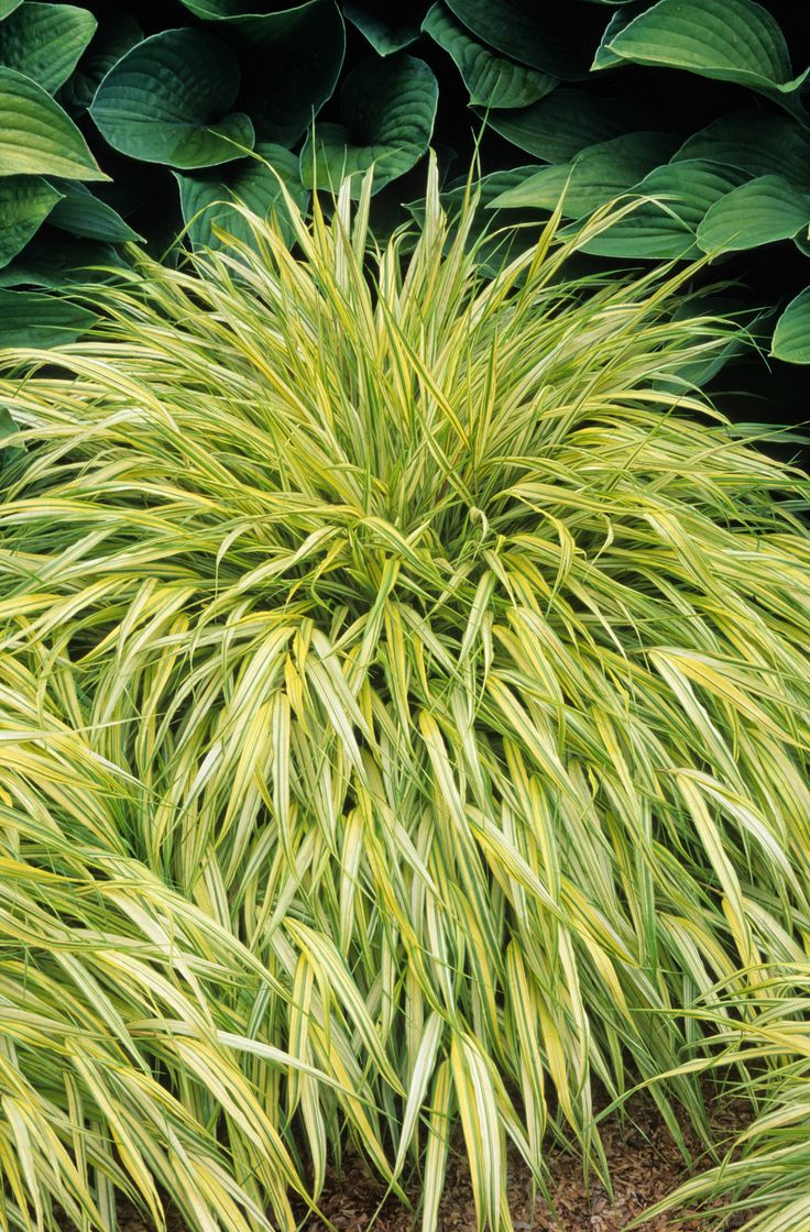 Ornamental grass for shade - Golden Japanese Forest Grass A Graceful Colorful Groundcover For Shady Areas Slender Stems