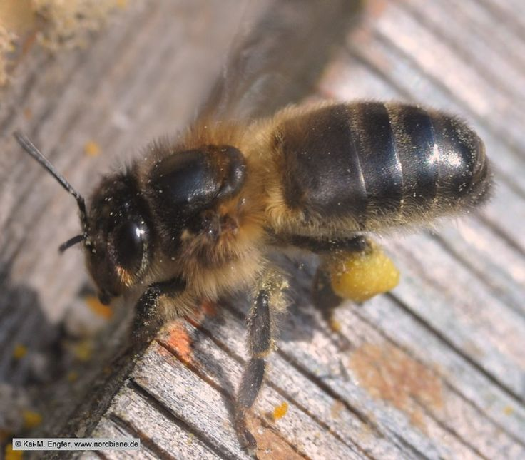 Apis mellifera mellifera ~ native British Black Bee