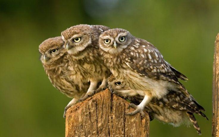owl baby - Download cool desktop wallpaper and 3d desktop backgrounds for free.