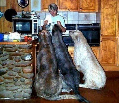 This is what it willl be like when im cooking stuff in my own house lol an irish wolfhound, a great dane, a boxer, and something fluffy XD