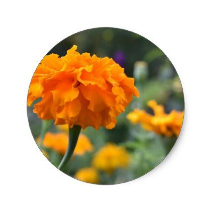 Marigold Orange Flower Nature Photography Garden Classic Round Sticker - photography picture cyo special diy