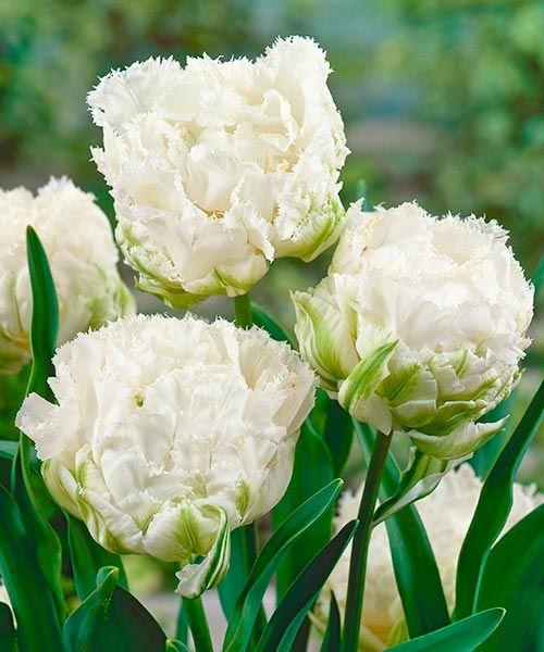 Třepenité tulipány Snow Crystal. Sněhově bílé, nadýchané koule plných květů vyniknou v zeleni zahrady na první pohled! Vyžadují: slunce - polostín. Doba kvetení: duben - květen. Výška:asi 30 cm. K řezu.