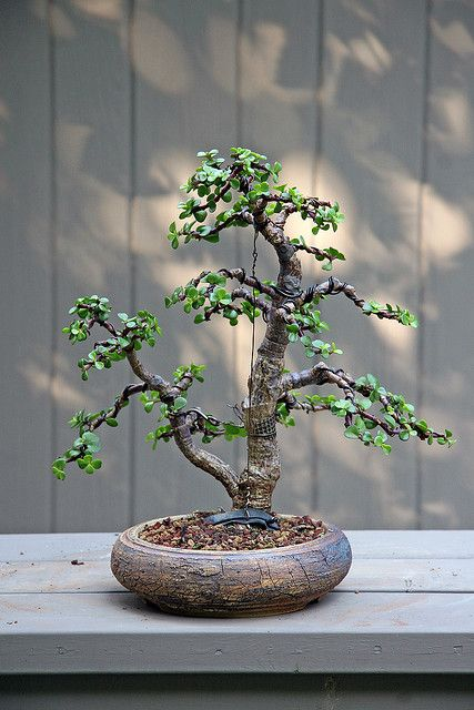 JPB:Portulacaria afra twin-trunk 8-16-09 | Flickr - Photo Sharing!