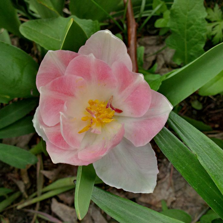 A delicate soft pink tulip