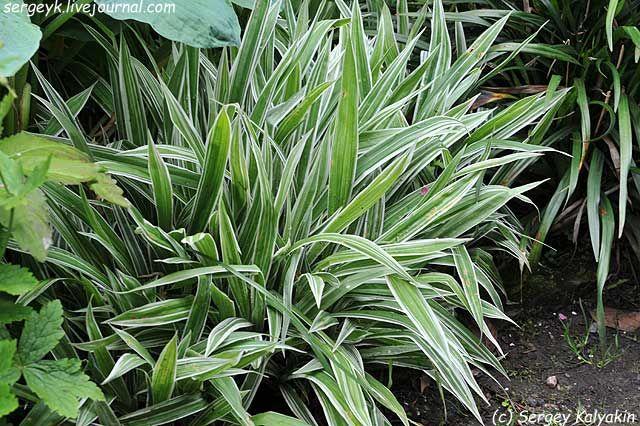 Carex siderosticha Variegata.JPG/Осока ржавопятнистая + сорта (Carex siderosticha)