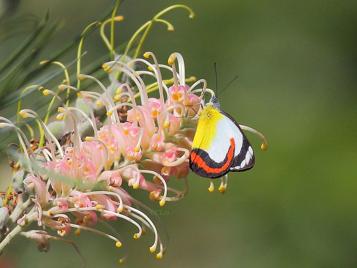 Ventral view of a Red-banded Jezebel(Delias mysis) visiting Grevillea sylvia photographed by Jeff Lin in Australia on 17th October 2014