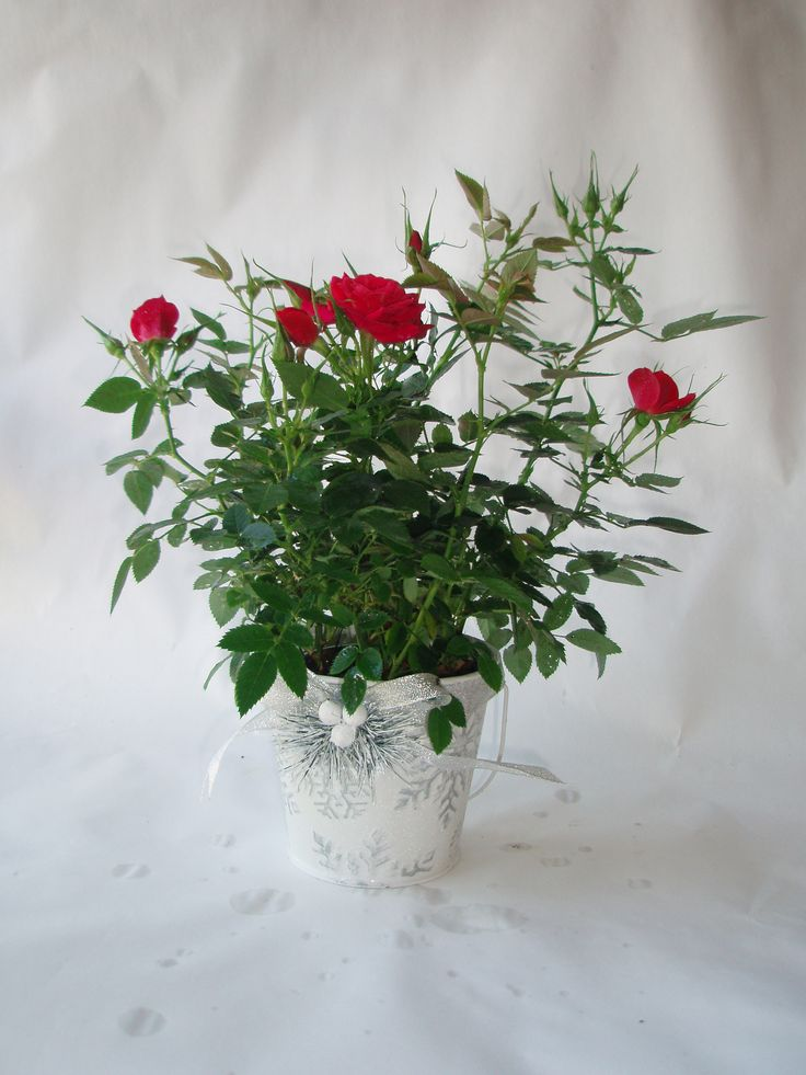 Snowflake Tin  silver snowflake design with ribbon accent at front filled with flowering mini roses! http://www.summerhillnurseries.com.au/www/content/default.aspx?cid=1802&fid=670