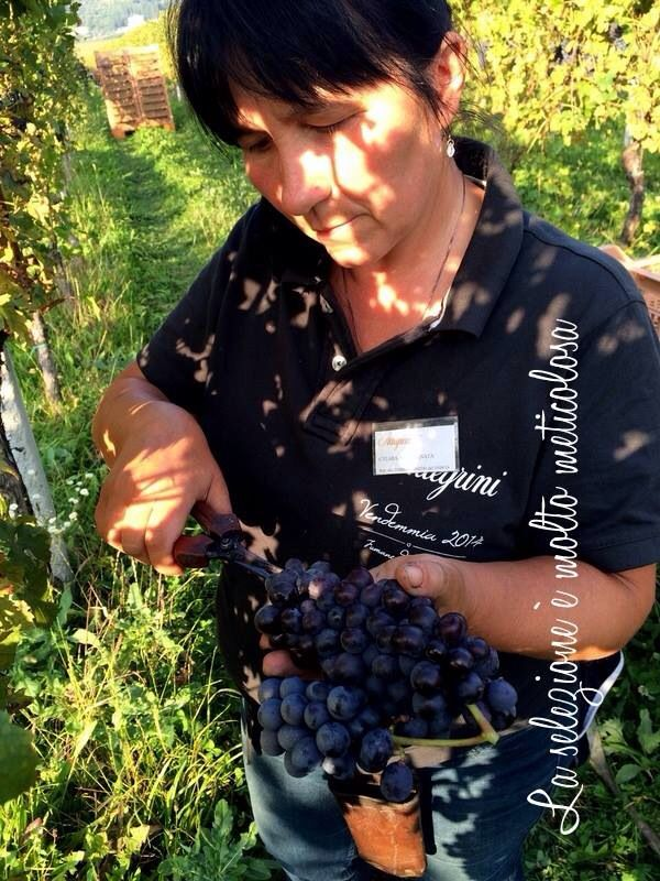 Selection during harvest is intense. One must only pick the very best grapes for #Allegrini wines. All picking is done by hand.