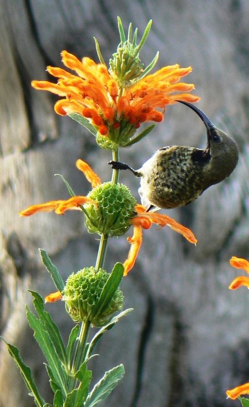 Sunbirds can't resist the nectar of leonotis leonurus (wild dagga, lion's tail), a South African plant that flowers in winter