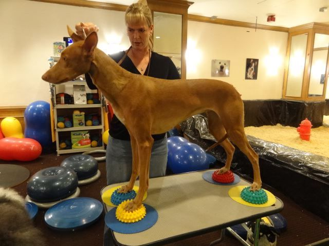 """Teaching a dog to """"stack"""" also teaching them foot awareness and placement.  All kinds of Fit Paws equiptment - exercise for your dog."""
