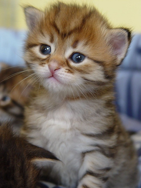 I want a dwarf kitten so bad! so tiny!
