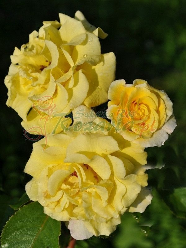 żółte róże, róże żółte, Golden Showers