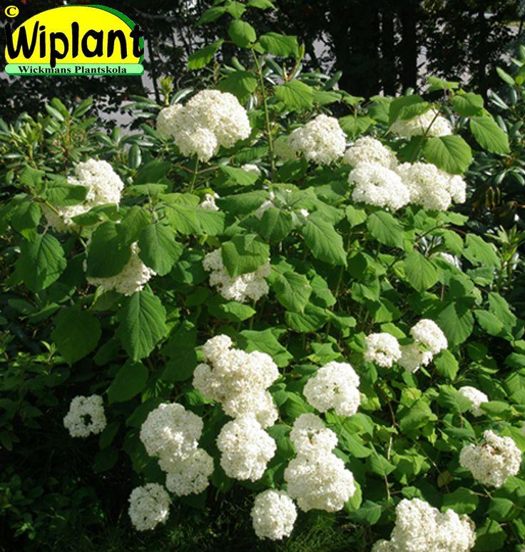 Hydrangea arb. 'Sylvia', Vidjehortensia (Bollhortensia). Stora vita blommor i juli-augusti. Planteras i kalkfri jord. Höjd: 1m.