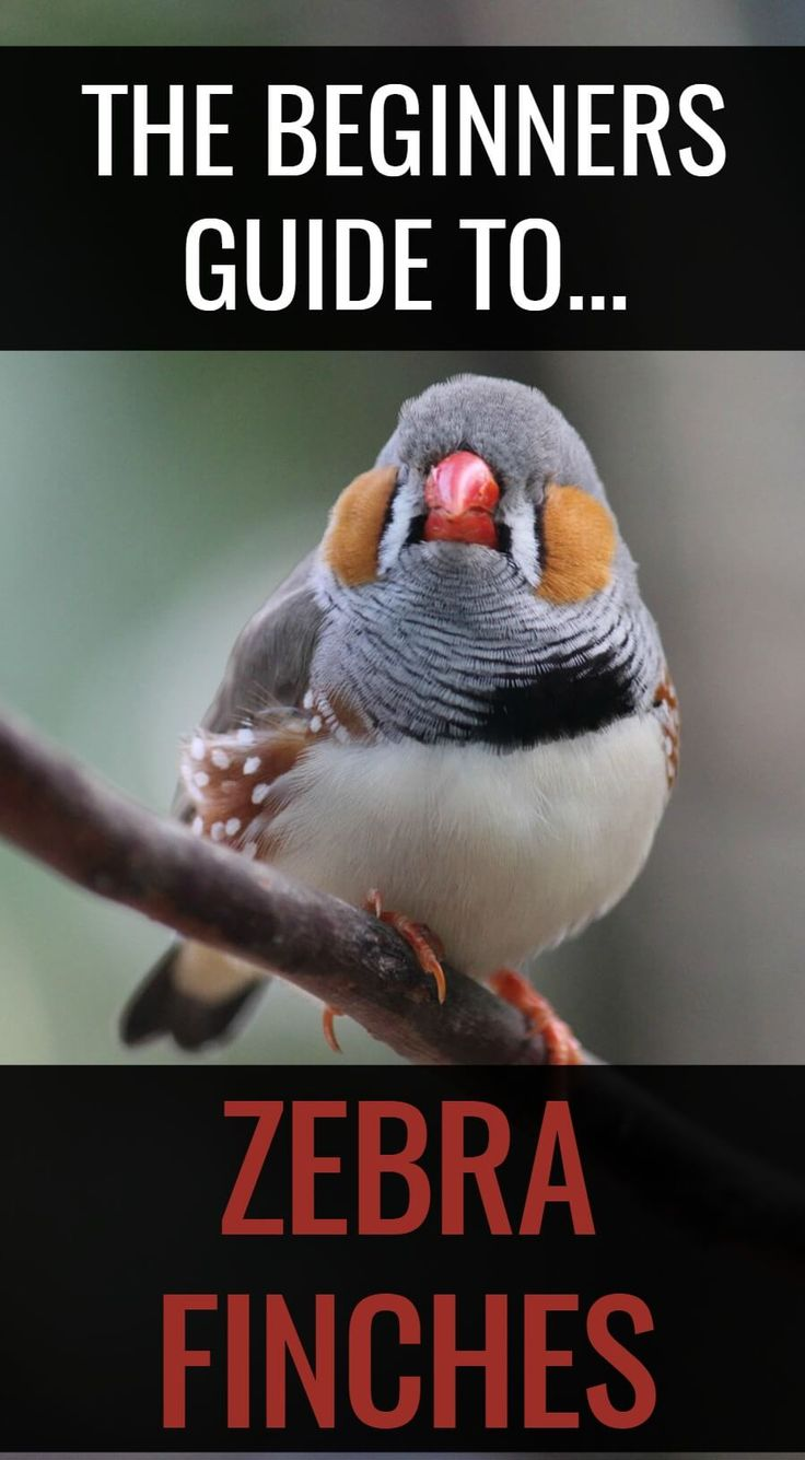 Wondering how to keep zebra finches? These stunning little birds are easy to keep as pets when you follow these simple steps to success...