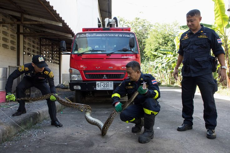 The Thai capital has always been rich in reptiles, but wet weather and urban growth are creating more snake-on-human encounters of an unpleasant kind.