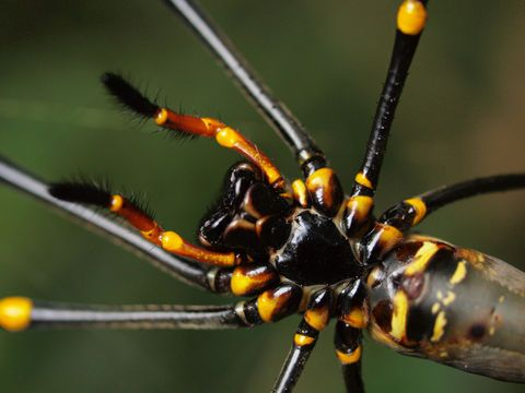 Golden silk orb-weaver, Nephila plumipes, by (manda) via Flickr (cc-by-nc-sa): http://www.flickr.com/photos/26893598@N02/4759148435/