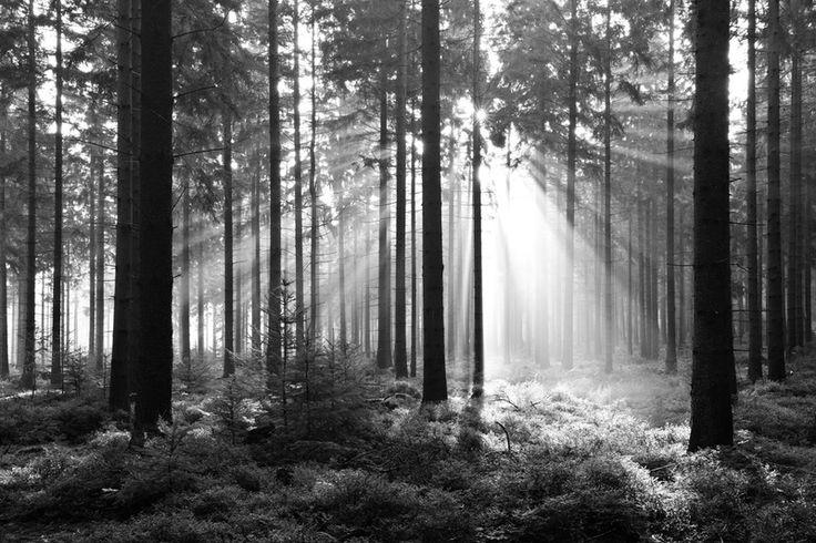 Skog svartvit tapet | Fototapet | Träd | Solljus | Svartvit