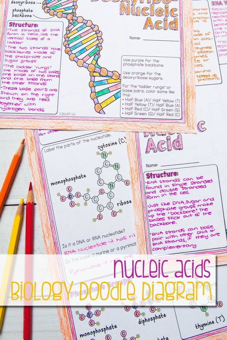 fantastic illustrated guided notes all about nucleic acids nucleotides parts of nucleotides and the role of dna and rna  [ 736 x 1104 Pixel ]