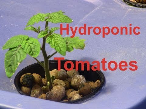 21 Best Hydroponic Tomatoes Images On Pinterest