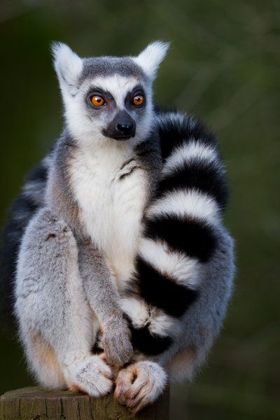 Kim, the lemur I am best friends with, looks like this. I am also friends with a lemur named Clarence that looks like this.