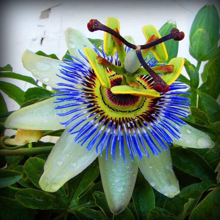 plantes grimpantes à fleurs exotiques pour le jardin et le balcon- passiflore