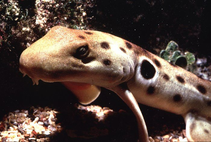 Epaulette Sharks: The Perfect Aquarium Sharks