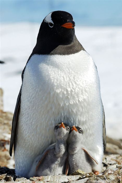 by Igor Gvozdovskyy: Babies, Mother, Nature, Beautiful, Creatures, Penguins, Baby Animals, Birds
