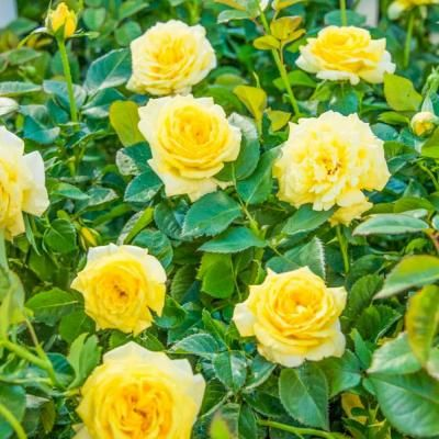 Spring Hill Nurseries Yellow Freedom Shrub Rose Live Jumbo Bareroot Plant With Yellow Color Flowers 1 Pack 78506 In 2020 Spring Hill Nursery