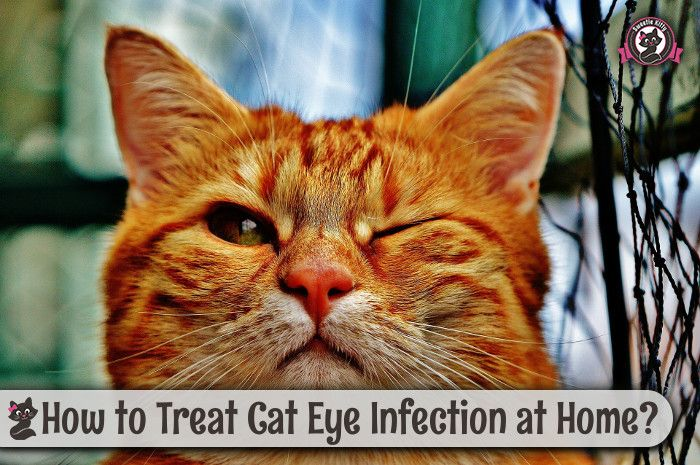 How to Treat Cat Eye Infection at Home http://www.sweetiekitty.com/cat-health/how-to-treat-cat-eye-infection-at-home/  #cat #kitty #catlover