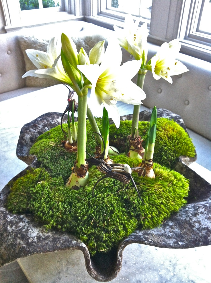 "Handkerchief planter with ""jewel"" amaryllis"