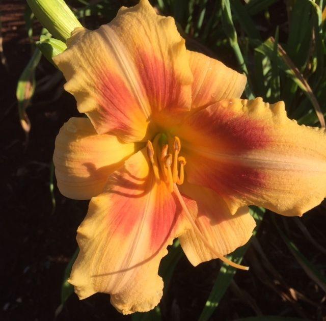 """Femme de Joie"" DAYLILY Flower Rose on Cream Blend with Cream Throat Diploid | eBay"