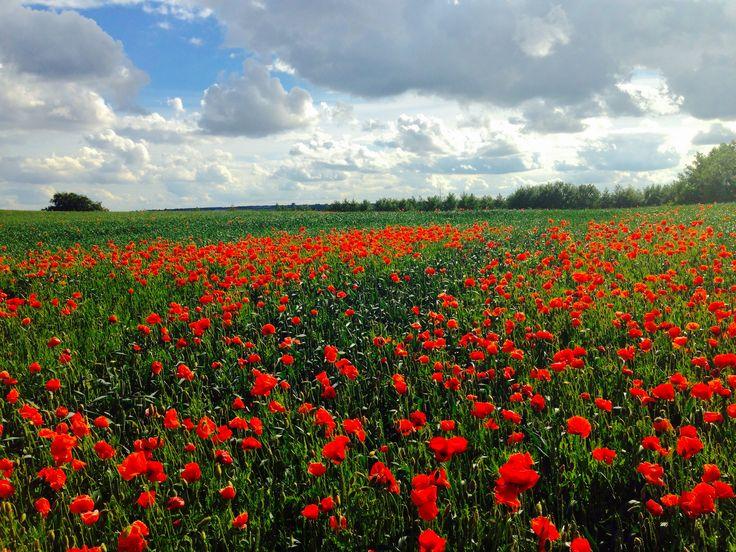 Poppy field Dk