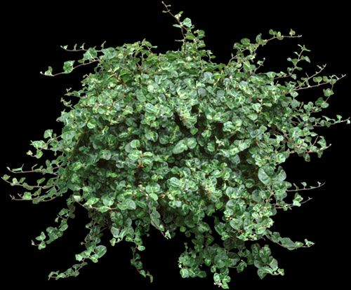 Creeping fig houseplants with a mat of green leaves are Weird plants to grow indoors