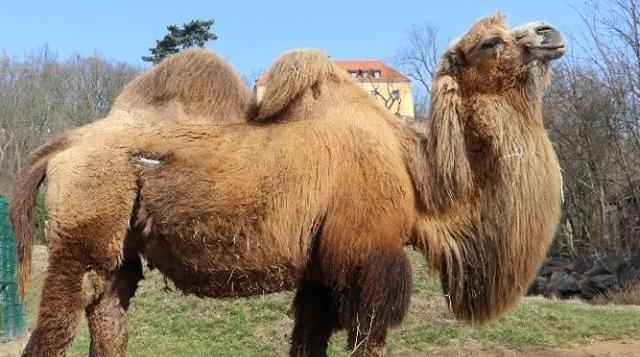 Plzeňská zoo se musela rozloučit s velbloudicí Goldie