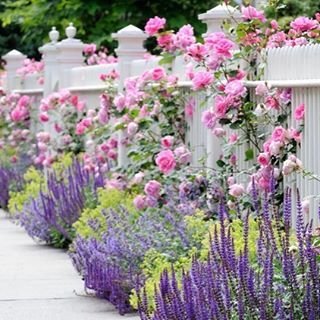 Rabatt med salvia, kantnepeta, jättedaggkåpa och klättrande rosa rosor. Mums!