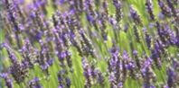 How to Make Hedges of Lavender