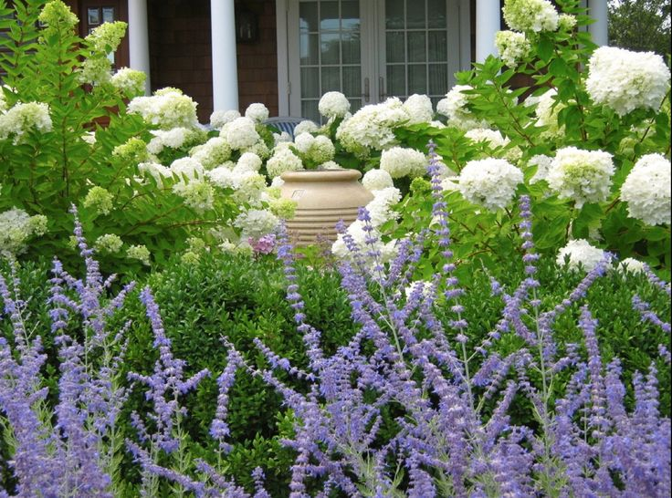 Smooth Anabelle Hydrangea, Buxus Sempervirens Boxwood, Russian Sage