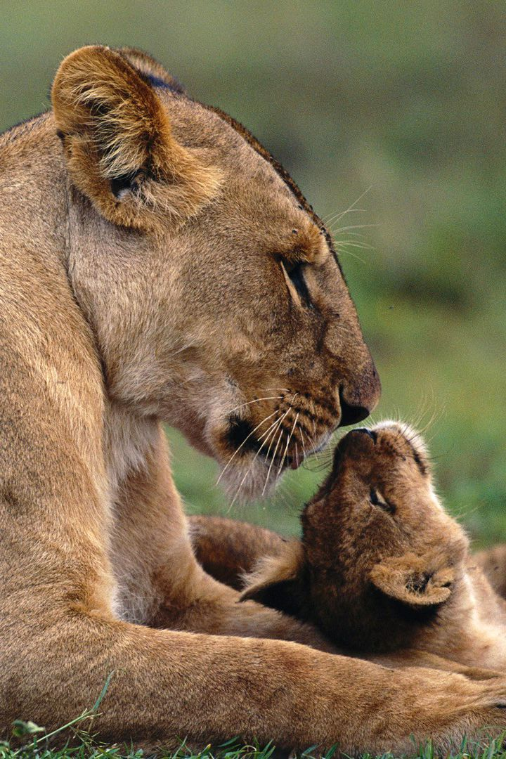 Lioness with Cub.. Beautiful... What Mother Nature, Gives us!!! ..