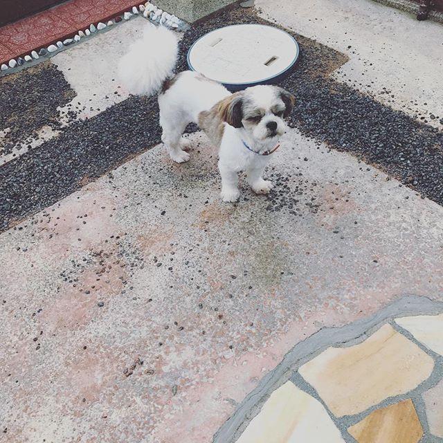 お疲れ様です😃 最近曇りとか雨で遊びにくくなったねレオ〜😅 レオ、外で遊びにくくなったね。 早く梅雨明けを待とう、レオ😃 #レオ#dog#愛犬#犬#可愛い#癒し#家族#大切#ヤンチャ#わんぱく#シーズー#守る#お疲れ様です#最近#曇り#雨#外#遊びにくくなったね#早く#梅雨明け#待とう