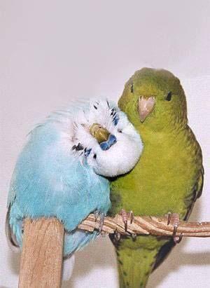 parakeet and  lineolated parakeet ♥