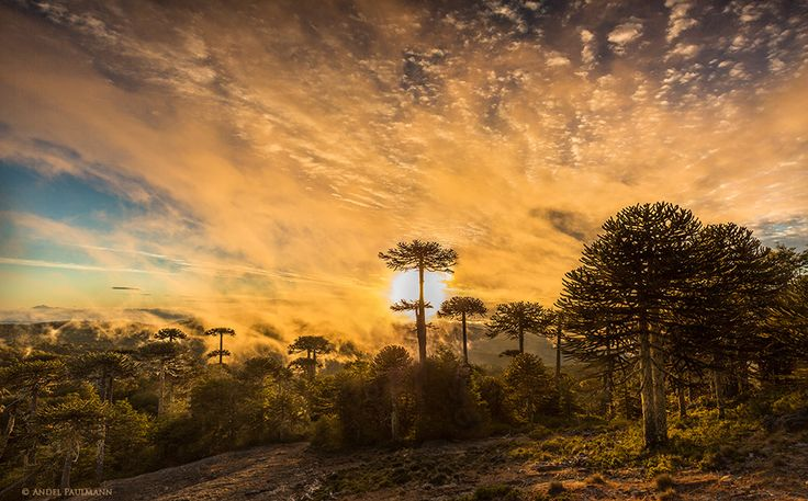 Araucaria Araucana forest in Nahuelbuta Chile.