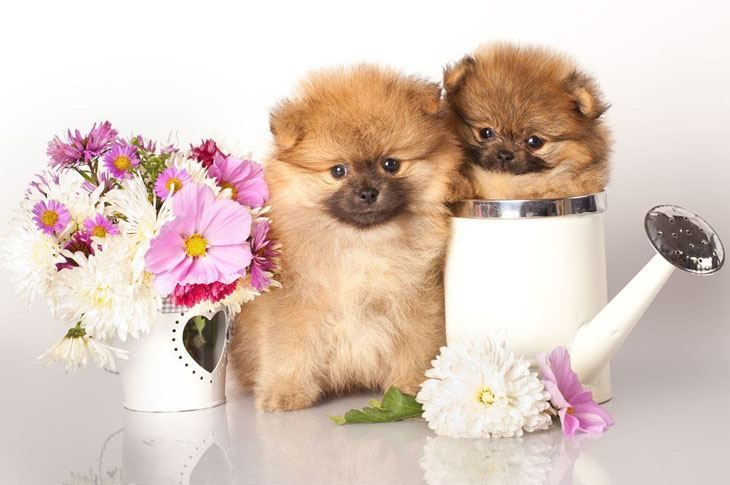 These #Pomeranian #puppies can't wait for springtime....  Fetch more pinworthy #dogs by clicking on this pic