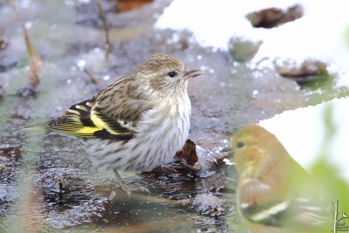 Pine Siskin with and American Goldfinch
