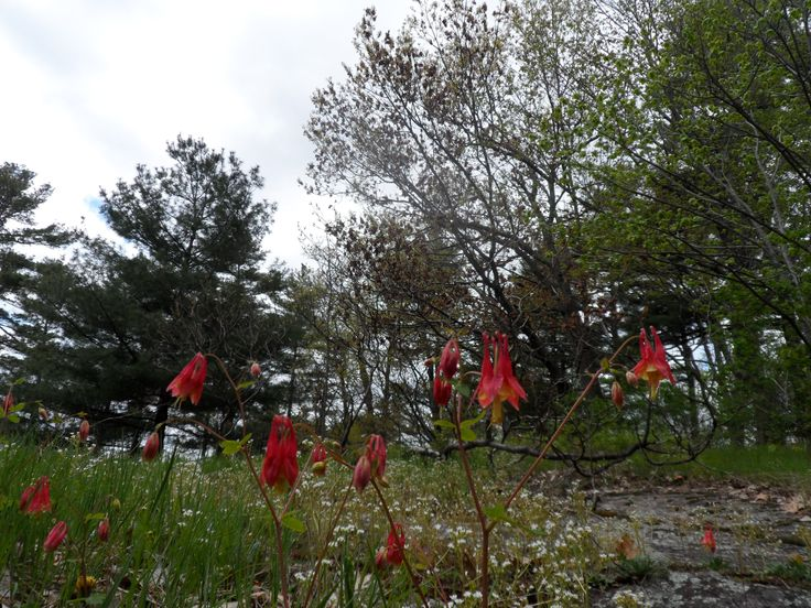Spring wildflowers near the park office at Frontenac Provincial Park @Ontario Parks