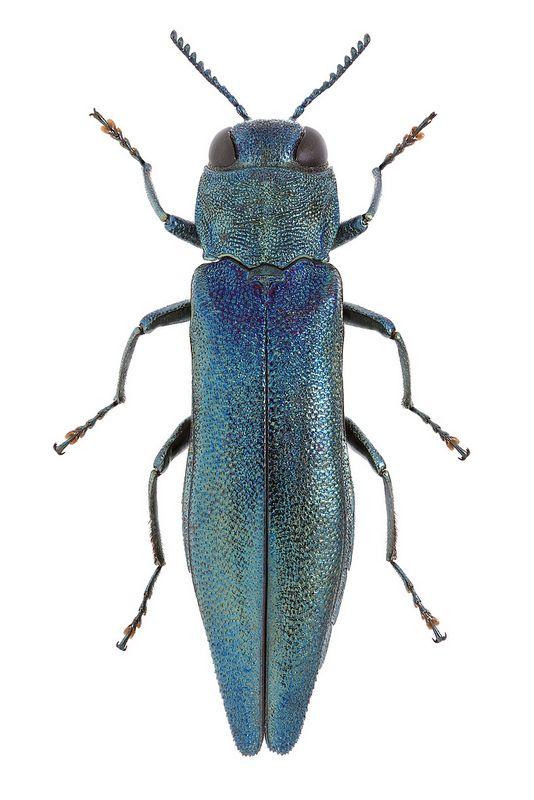 Agrilus viridis ♂