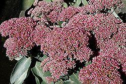Autumn Delight Stonecrop (Sedum 'Autumn Delight') at Minor's Garden Center