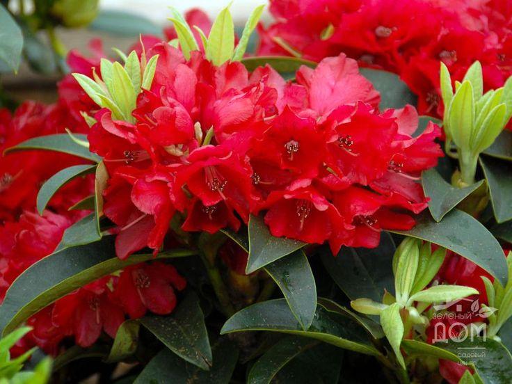 Рододендрон гибридный Erato (Rhododendron hibrid)
