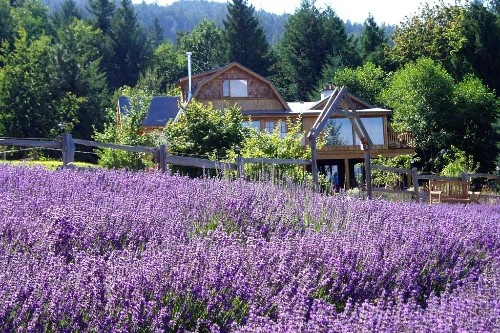 Salt Spring Island Photos at Frommer's - The fields of Sacred Mountain Lavender Company at their summer peak.