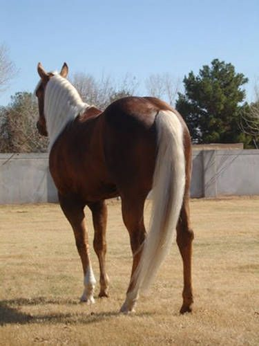 A chocolate palomino -- usually from palomino & liver chestnut parents
